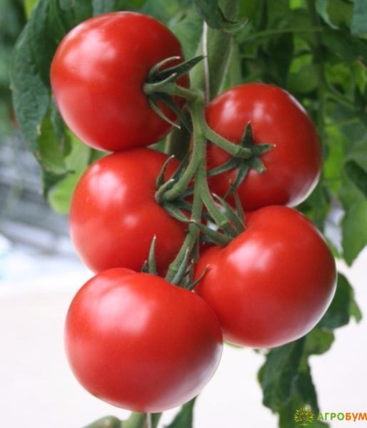 Купить семена Томат Опера F1 12 шт. по низкой цене, доставка почтой наложенным платежом по России, курьером по Москве - интернет-магазин АгроБум