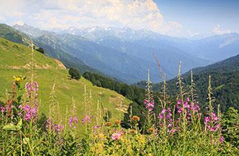 Травы для вермута, Альпы