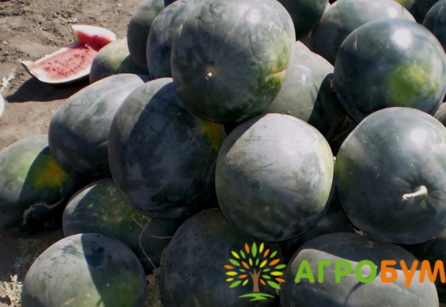 Купить семена Арбуз Холодок 1,0 г по низкой цене, доставка почтой наложенным платежом по России, курьером по Москве - интернет-магазин АгроБум