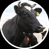 Содержание коров и дойка