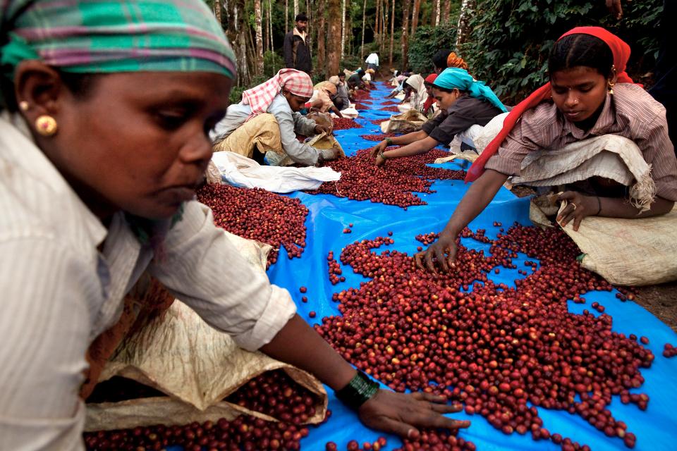 Производство кофе в Индии