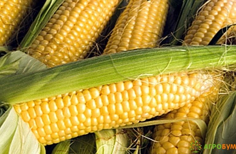 Купить семена Кукуруза Золотой лед F1 5 г Заморозь! по низкой цене, доставка почтой наложенным платежом по России, курьером по Москве - интернет-магазин АгроБум