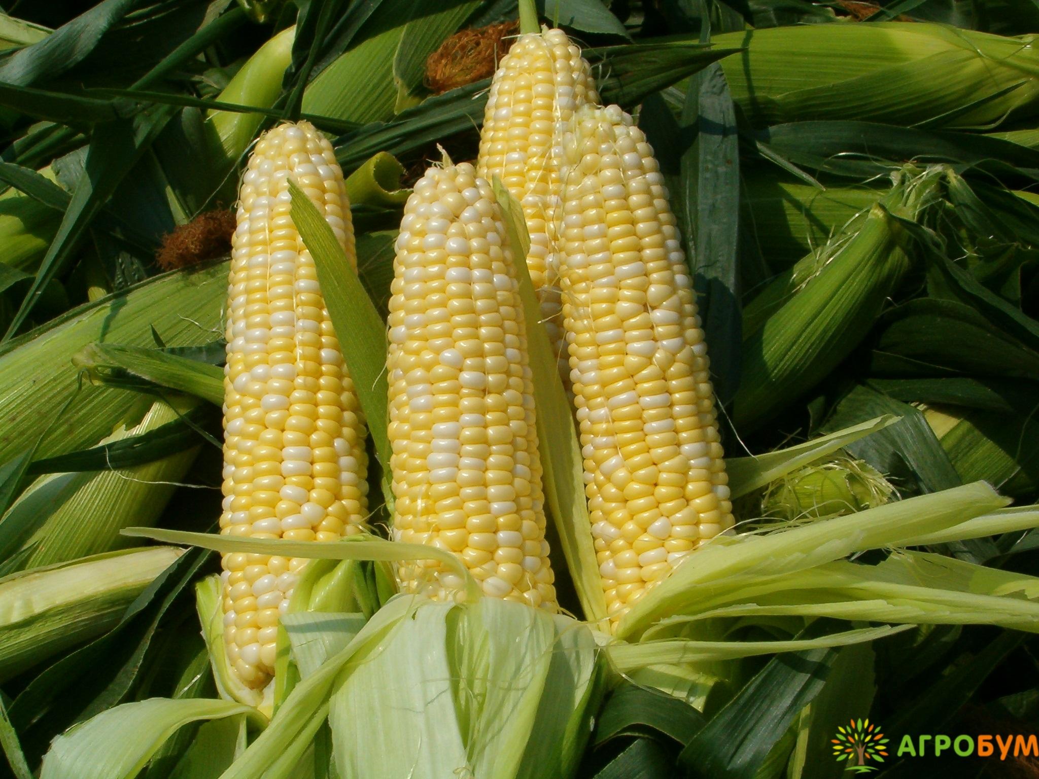 Купить семена Кукуруза Российская лопающаяся 3 5 г по низкой цене, доставка почтой наложенным платежом по России, курьером по Москве - интернет-магазин АгроБум