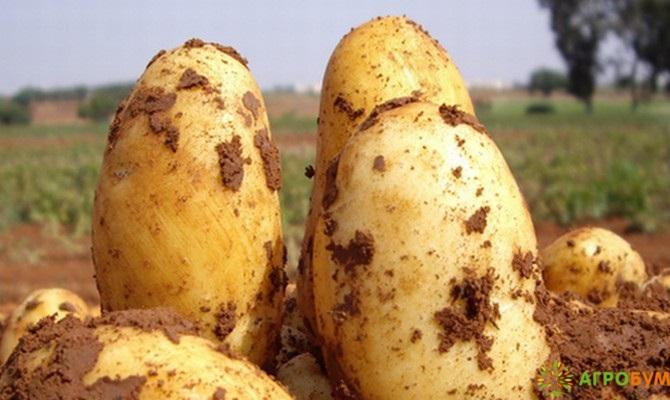 Купить семена Картофель Лакомка 0,025 г по низкой цене, доставка почтой наложенным платежом по России, курьером по Москве - интернет-магазин АгроБум