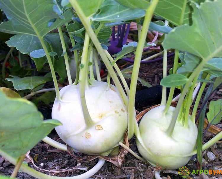 Купить семена Капуста кольраби Гигант 0,2 г по низкой цене, доставка почтой наложенным платежом по России, курьером по Москве - интернет-магазин АгроБум