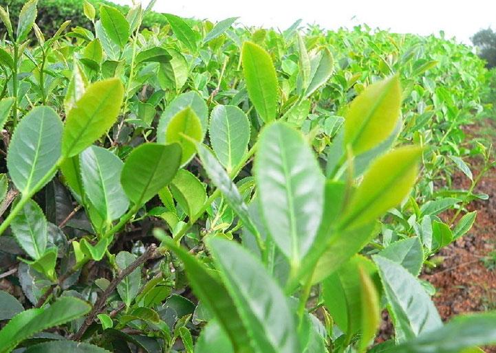 листья красного чая
