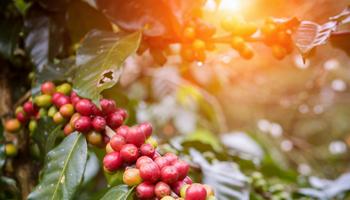Кофе арабика купить СПб