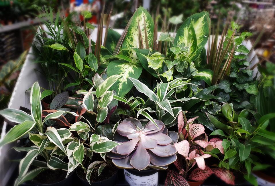растение суккулент