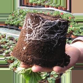 rhiza.png