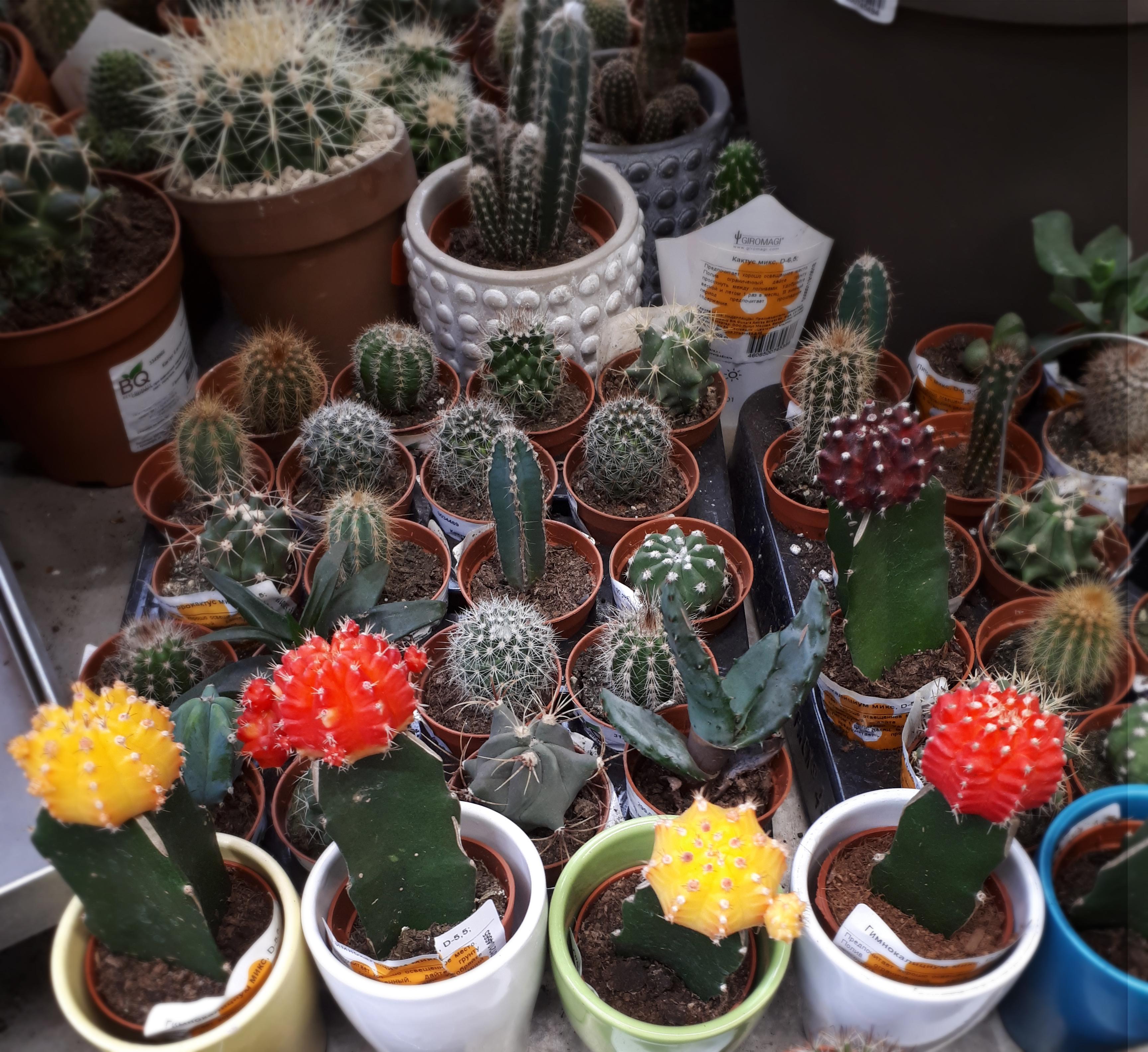 кактусы суккуленты фото