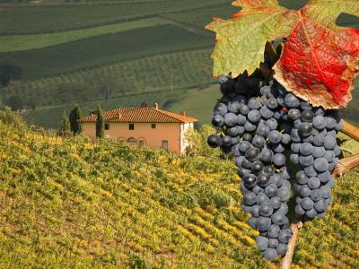 виноград тоскания