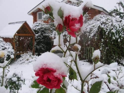Зимнее укрытие для роз и цветущих кустарников