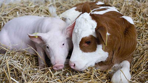 Свиньи и коровы тоже пьют Абсолют