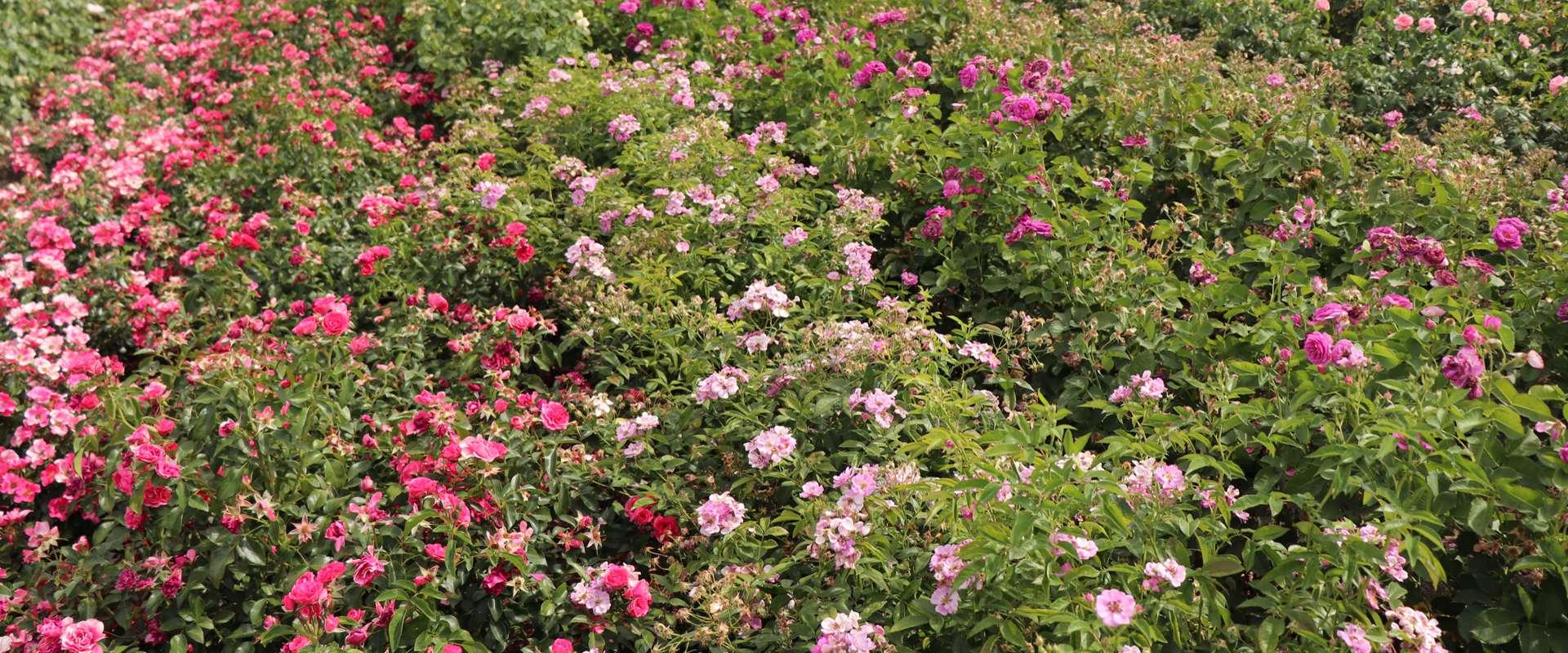 Перейти на сайт оптовой торговли саженцами роз