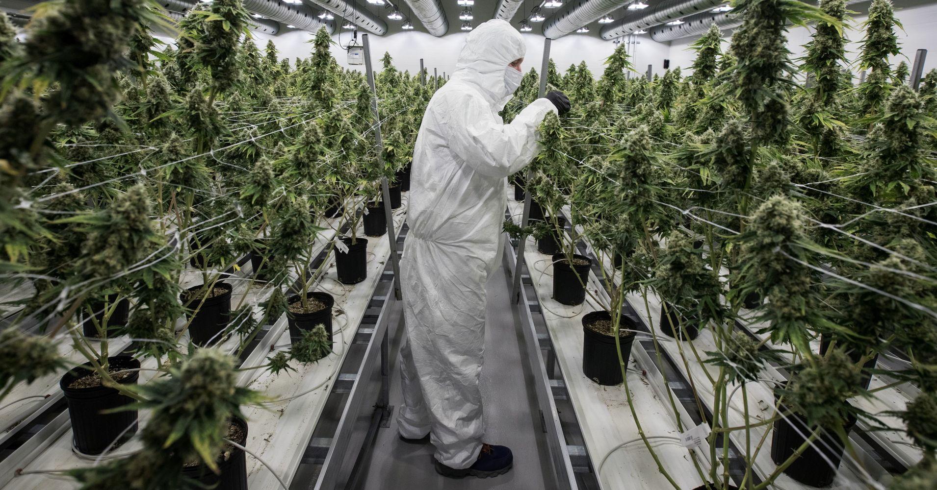 Правила выращивания марихуаны как правильно выращивать коноплю книга