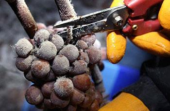 Ледяной виноград
