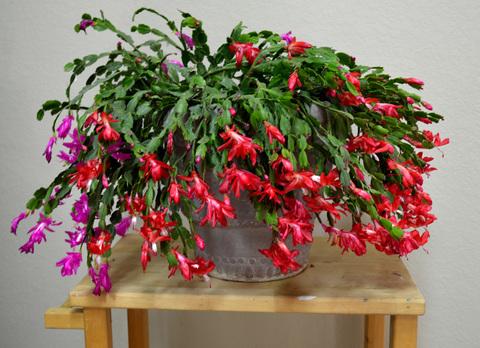 Зимнее украшение - цветок ДЕКАБРИСТ