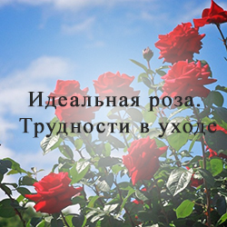 Идеальная роза . Уход за розами.