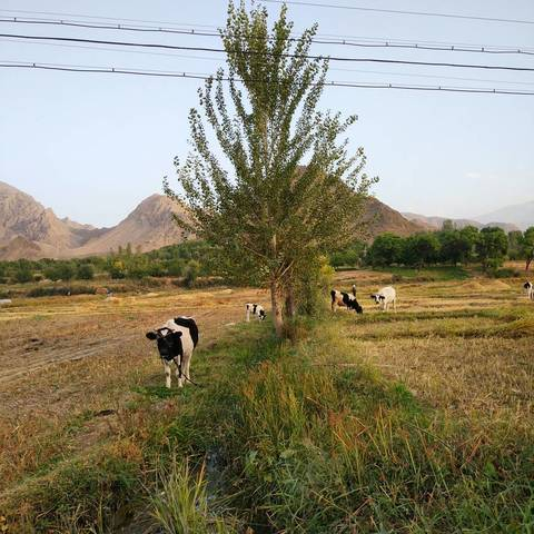 Коровки на рисовом поле