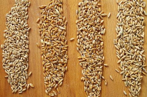 Разновидности пшеницы и опыт работы с ними (+видео Тартин с тритикале)