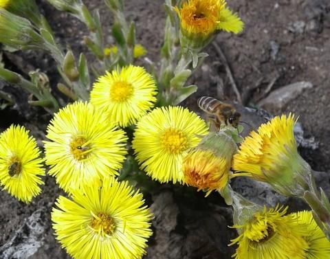 Мать-и-мачеха первый весенний медонос и пыльценос