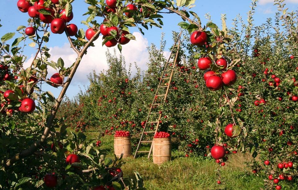 Стоит ли ожидать подорожания яблок?