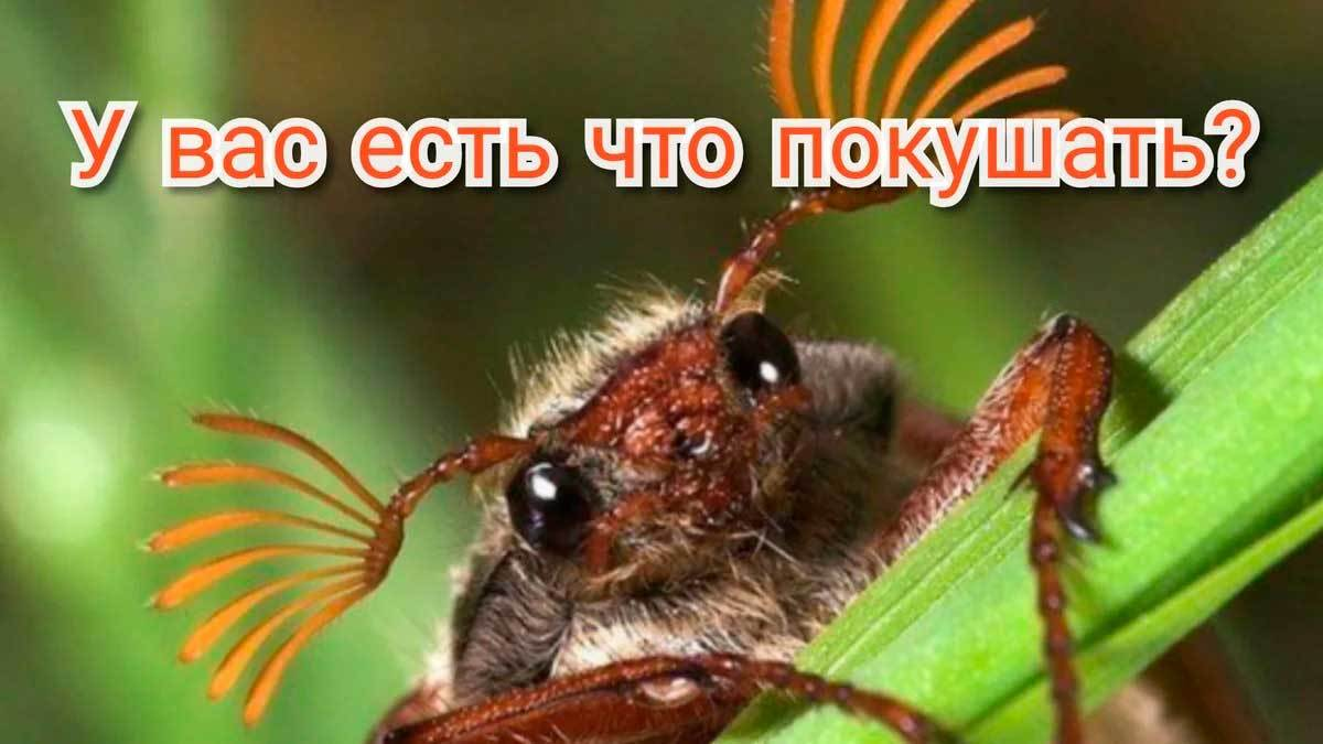 Вредители. Майский жук