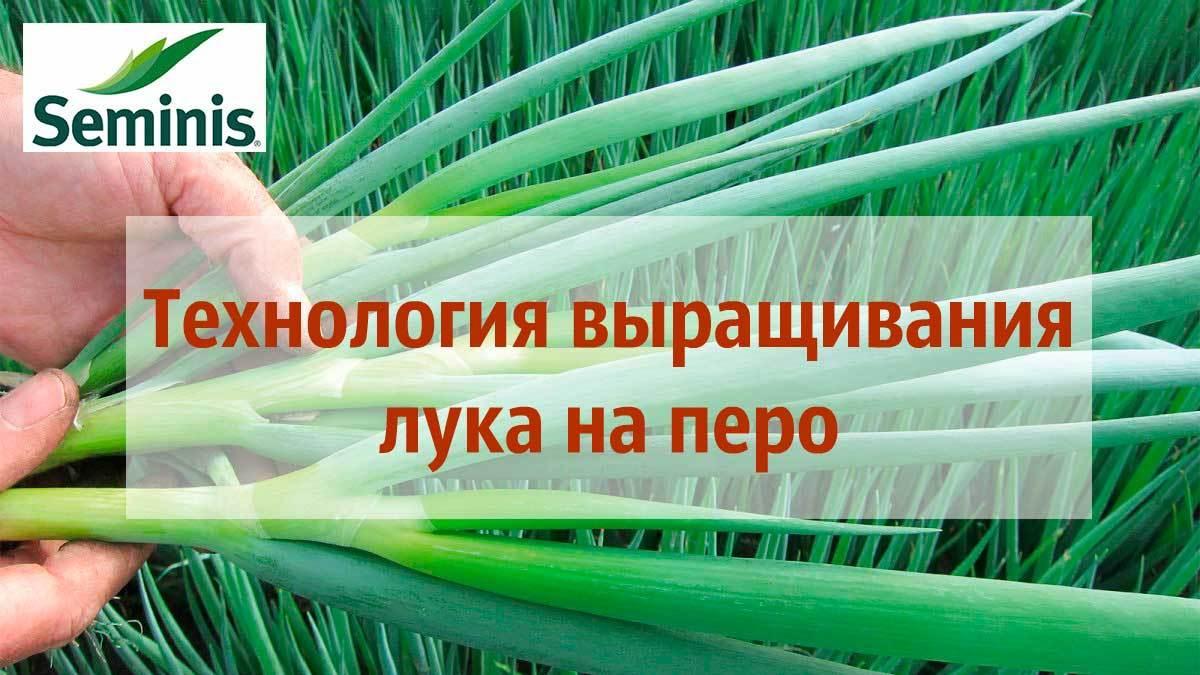 Технология выращивания лука на перо (зелень)