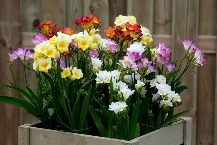Полезные советы по выращиванию фрезии