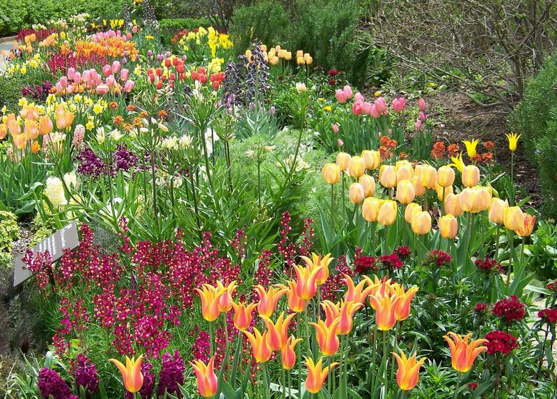 Посадка, уход, полив и удобрение тюльпанов: общие правила и рекомендации