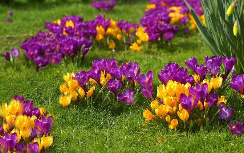 Крокусы: особенности посадки, ухода, полива и удобрения растений
