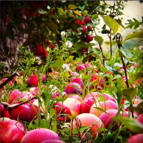 Рецепт яблочного бренди (аналог Кальвадоса).
