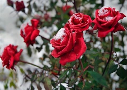 Зимнее укрытие для роз и цветущих растений