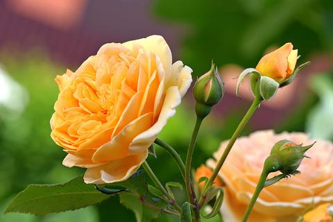 Чайная роза полезные свойства и противопоказания