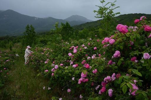 Экскурсии на лавандовые и розовые поля