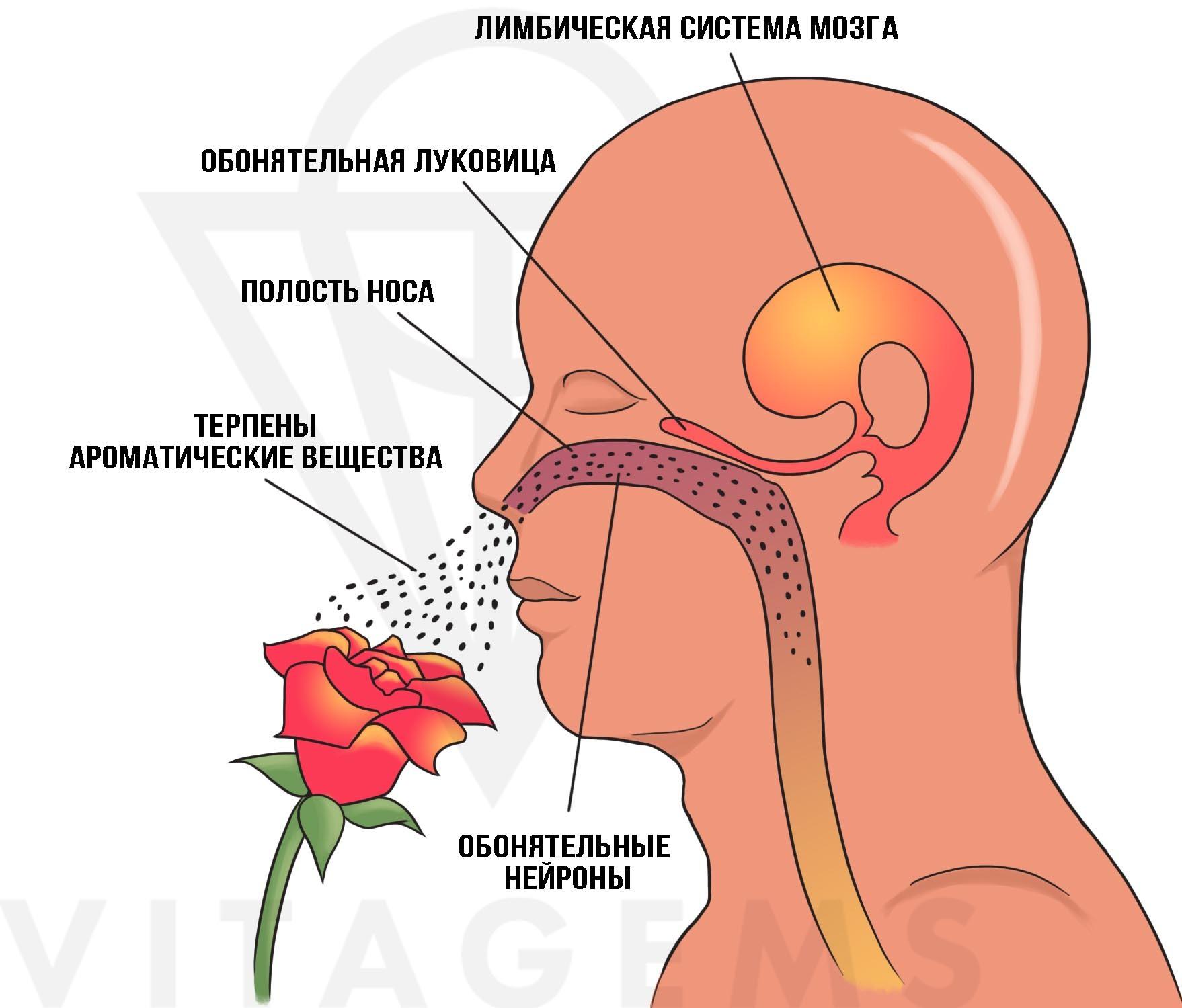 Как воздействуют эфирные масла на мозг и организм человека.