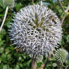 Семена медоносов и сидератов
