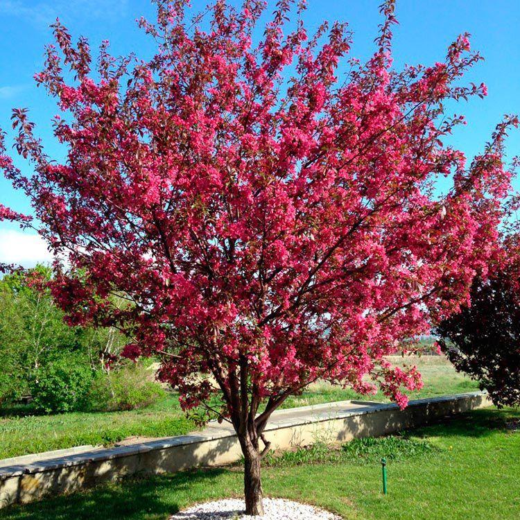 Декоративные деревья