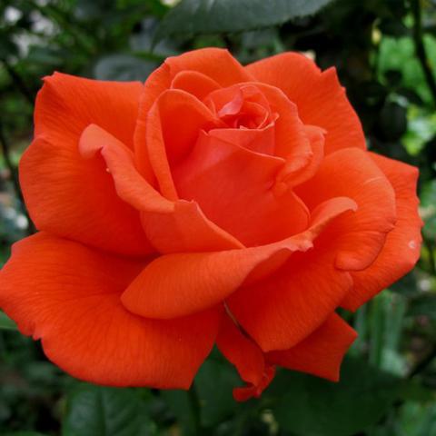 Роза чайно-гибридная Тропикана