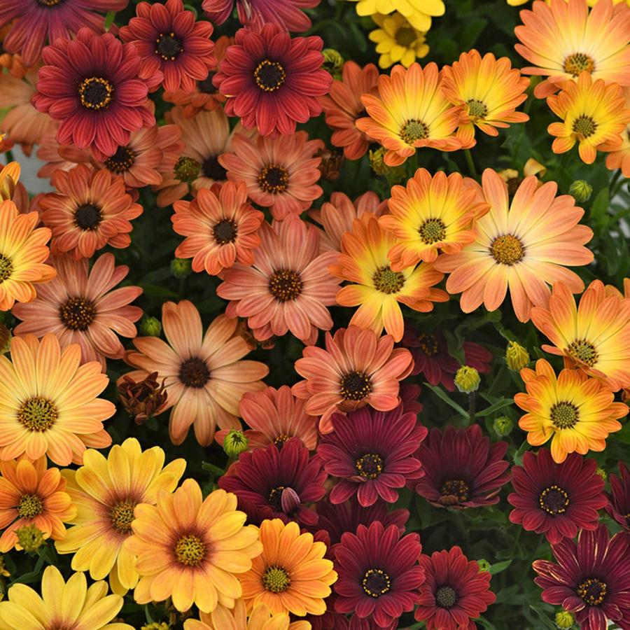Цветы Семена цветов Остеоспермум Акилла Сансет Шейдес, PanAmerican Seed, 5 шт. SANSET-SEIDES.png