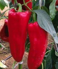 Каптур F1 семена перца сладкого (Seminis / Семинис)