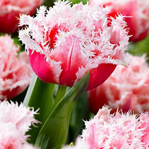 Тюльпан Махрово-бахромчатый