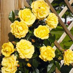 Роза плетистая Дукат