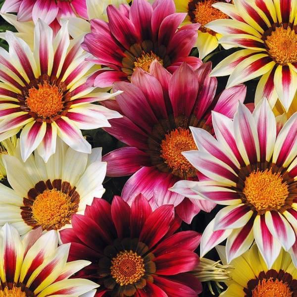 Цветы Семена цветов Газания Нью Дэй Стравберри Шорткейк микс , PanAmerican Seed, 10 шт. GAZANIY-NY-DEI-STRAVBERRI-SORTKEIK-MIKS.jpg