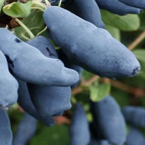 Жимолость сорт Голубое веретено