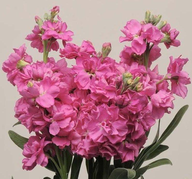 Цветы Семена цветов Маттиола Кац Пинк, PanAmerican Seed, 20 шт. MATTIOLA-KAT-PINK.jpg