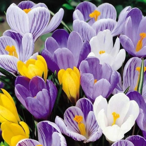 Крокус крупноцветковый микс весенний 20 шт