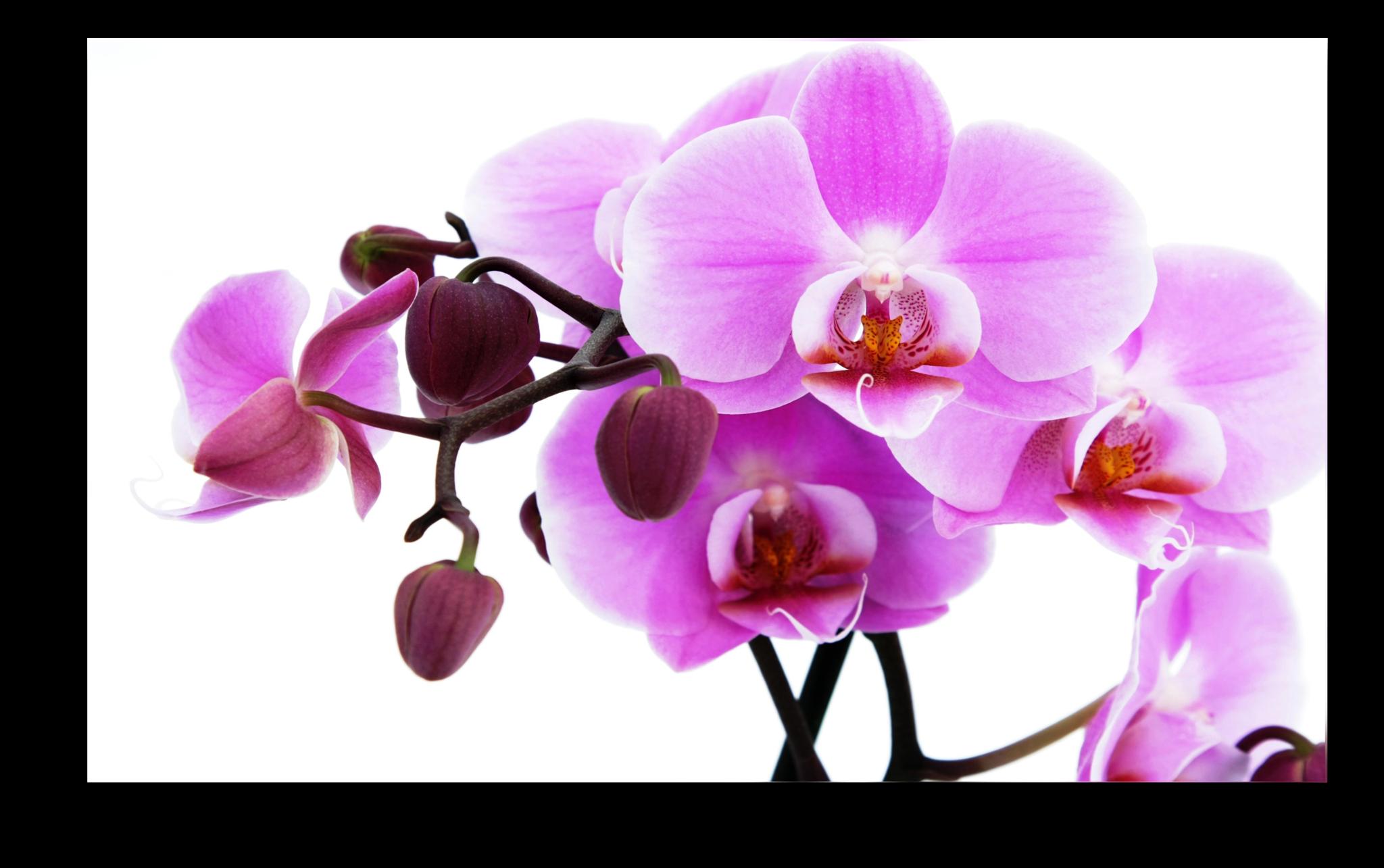 """Цветы Постер """"Розовая орхидея"""" п11.png"""