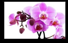 """Постер """"Розовая орхидея"""""""