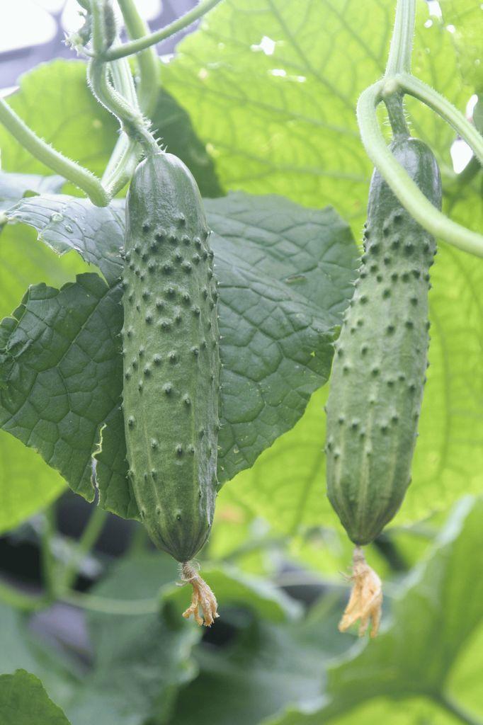 Гавриш Атлет F1 семена огурца пчелоопыляемого (Гавриш) Атлет_2_семена_овощей_оптом_семена_овощей_оптом.jpg